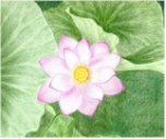 Lotus Flower Drawing
