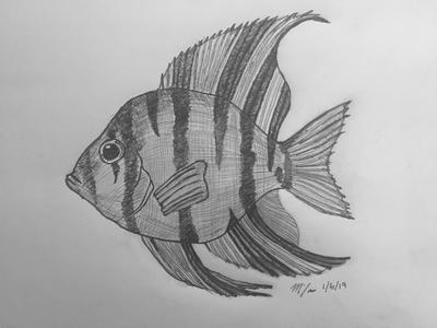 Angelfish Sketch