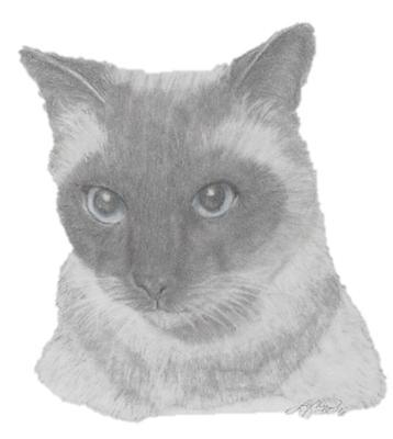 Boyd The Siamese Cat