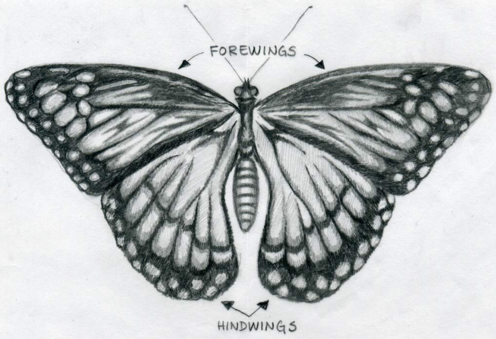 Easy Pencil Sketches Of Butterflies