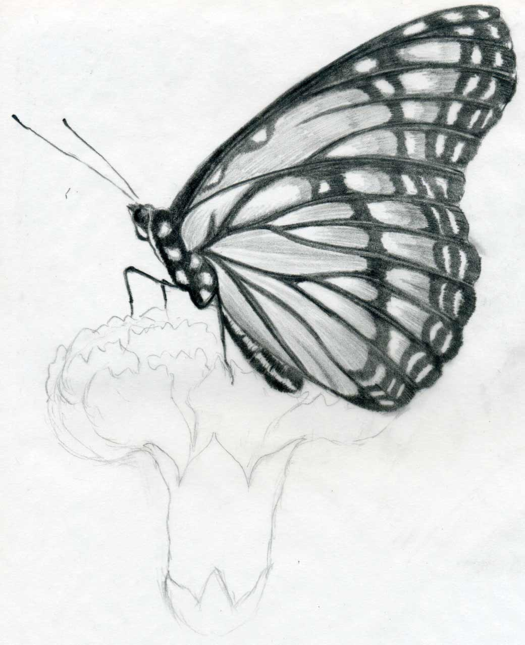 Butterfly pencil drawings you can practice