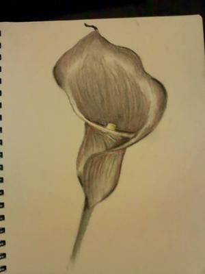 Calla LilyCalla Lily Flower Drawings