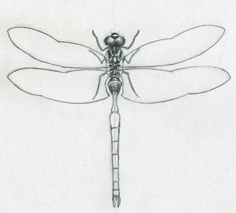 Now you should have almost a complete dragonfly drawing