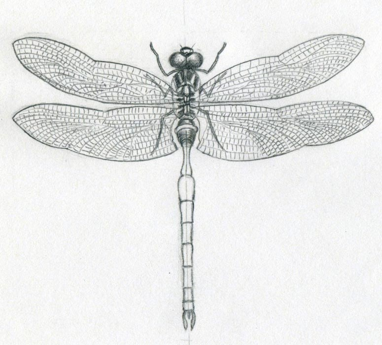 Small Dragonfly Drawing Dragonfly's Wings Too