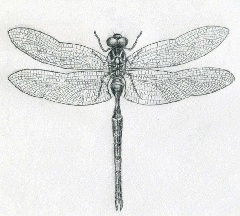 Small Dragonfly Drawing Much Attention to Draw The
