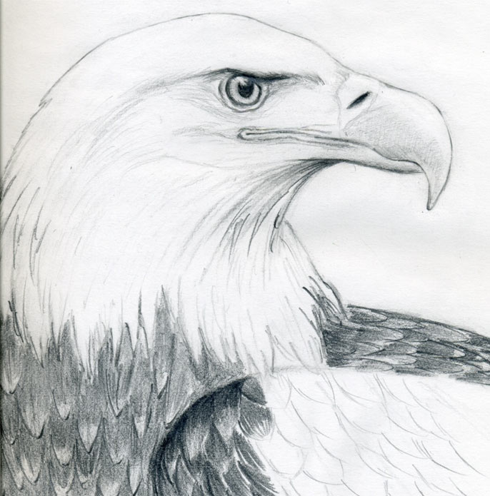 https://www.easy-drawings-and-sketches.com/images/draw-a-bald-eagle06.jpg Eagle Drawing Easy