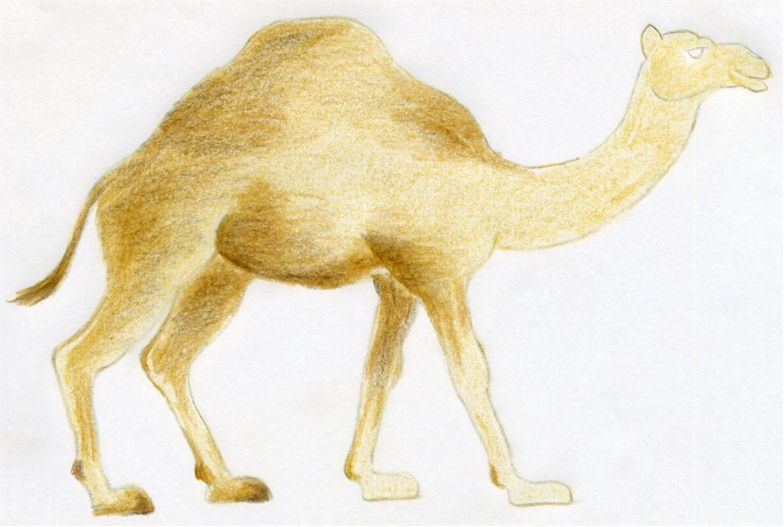 Line Drawing Of Desert Animals : How to draw a camel simple quick in color pencil.