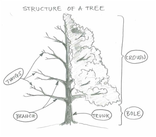 Knowing about tree structure will help you tremendously while you observe a tree real or photo as the object of your drawing