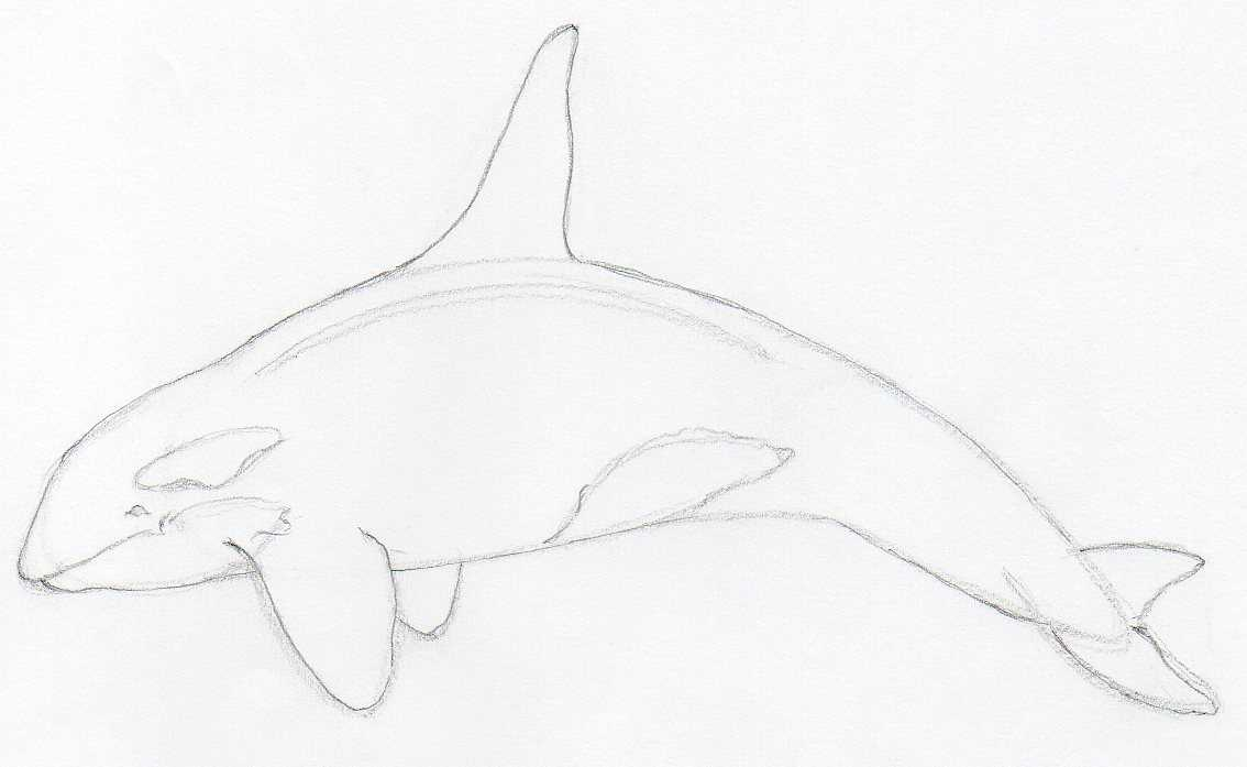 How to draw killer whale any beginner can do this