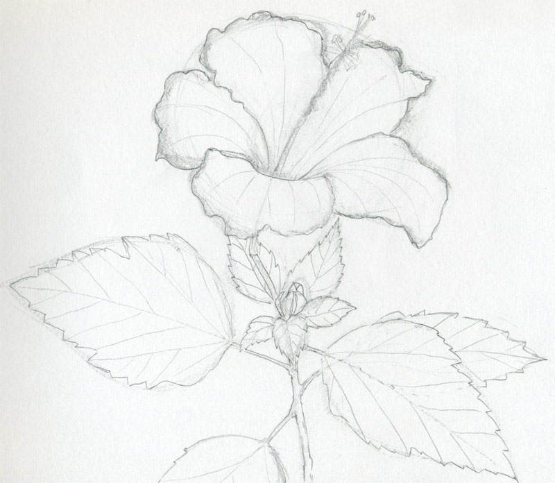 Flower Drawing Drawing Marking Out The Veins on The