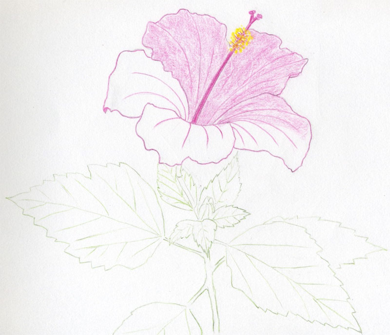 how to draw hibiscus flowers