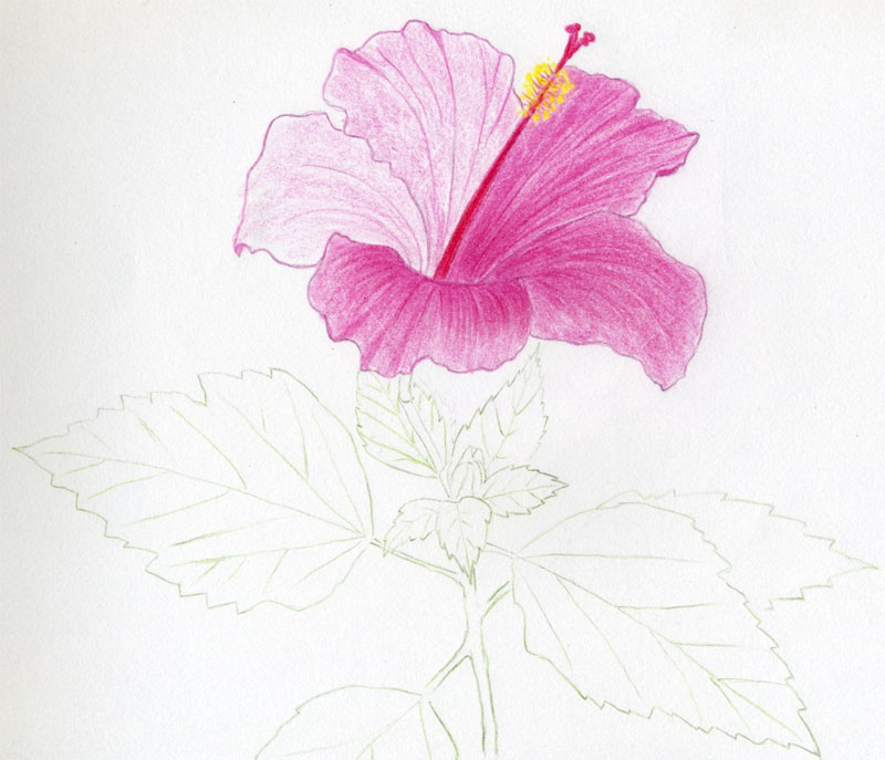 Hibiscus flowers drawing tutorial click the image to enlarge mightylinksfo