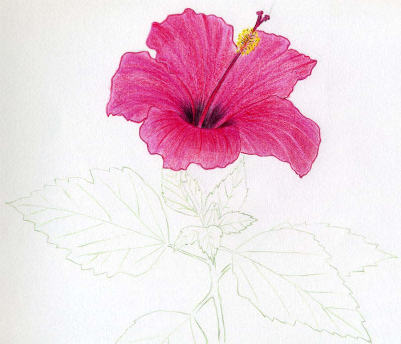 Hibiscus Flowers Drawing Tutorial