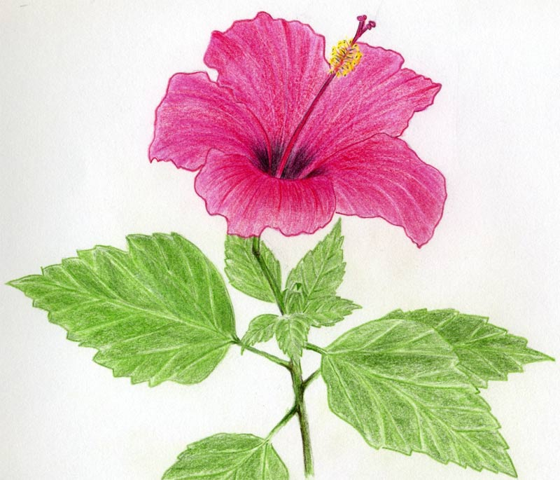 Do you love to draw hibiscus flowers