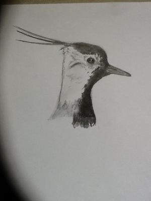 Green plover
