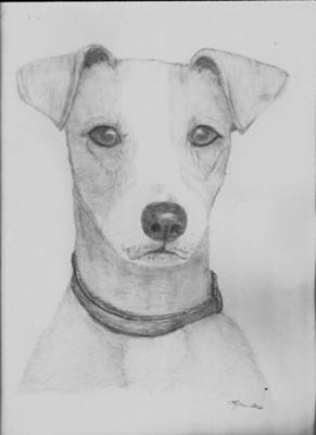 Gus - Jack Russell Terrier