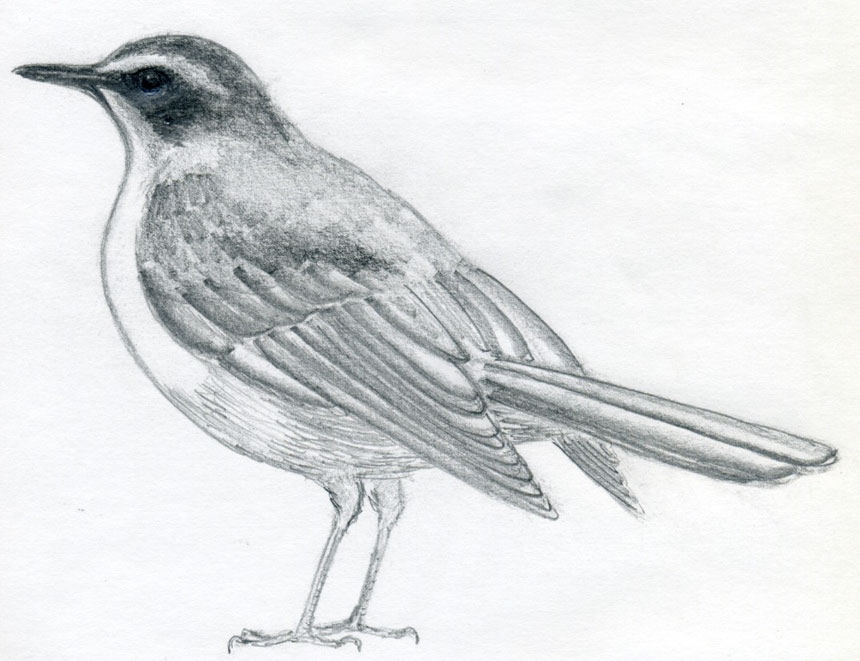 Line Drawing Of Animals And Birds : How to draw a bird and what you need know