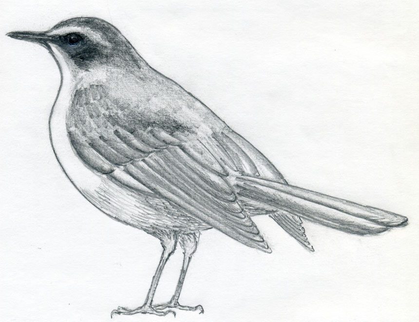 Pencil Sketch Birds