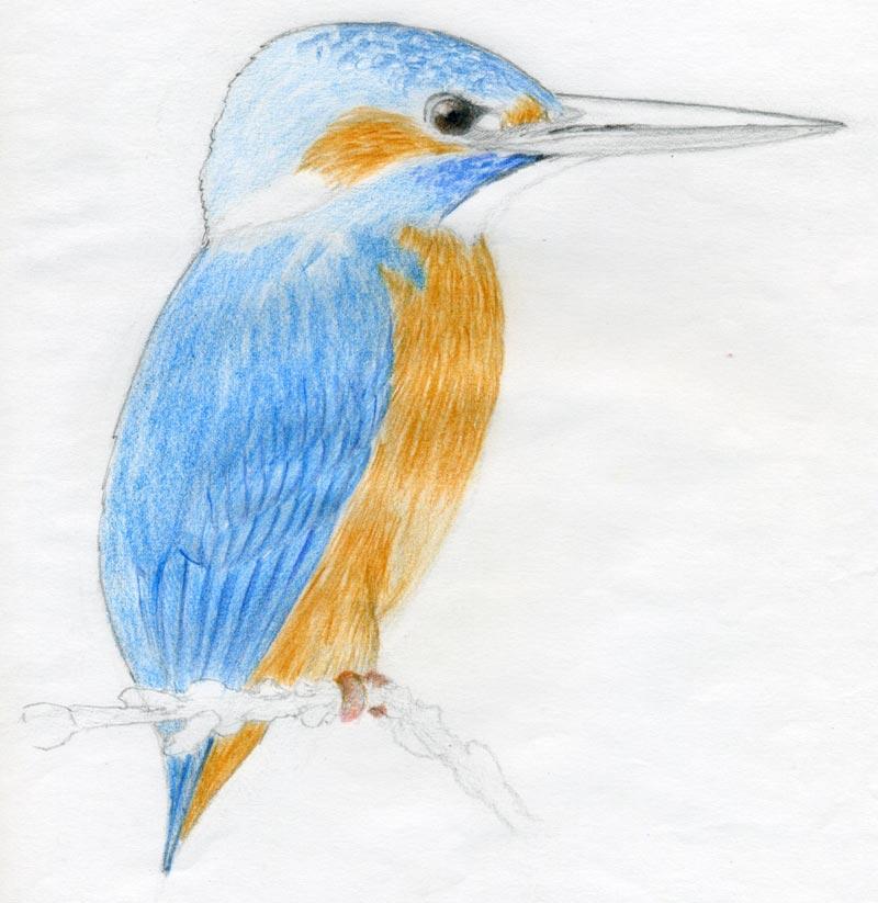 Pito Real  Ornitologa Cmo dibujar pjaros