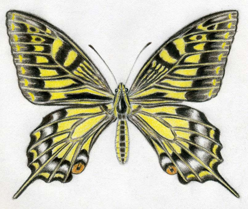 Simple Butterfly Drawing: How To Draw A Butterfly Surprisingly Easy