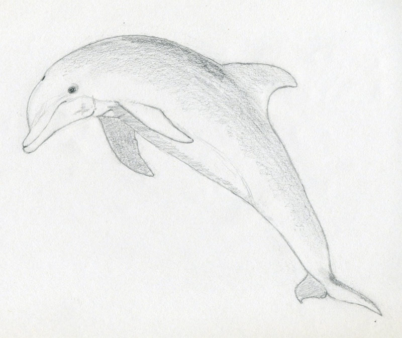 How To Draw A Dolphin