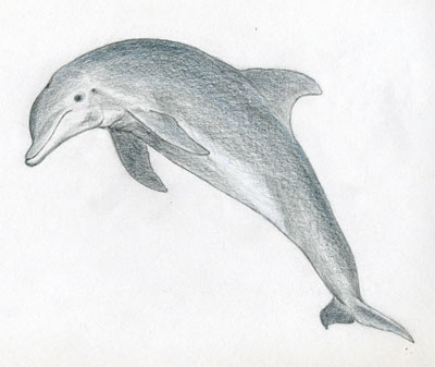 http://www.easy-drawings-and-sketches.com/images/how-to-draw-a-dolphin07-1.jpg