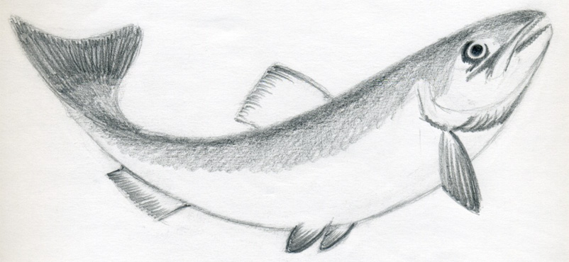 How to draw a fish jus 4 kidz for Fish drawing pictures