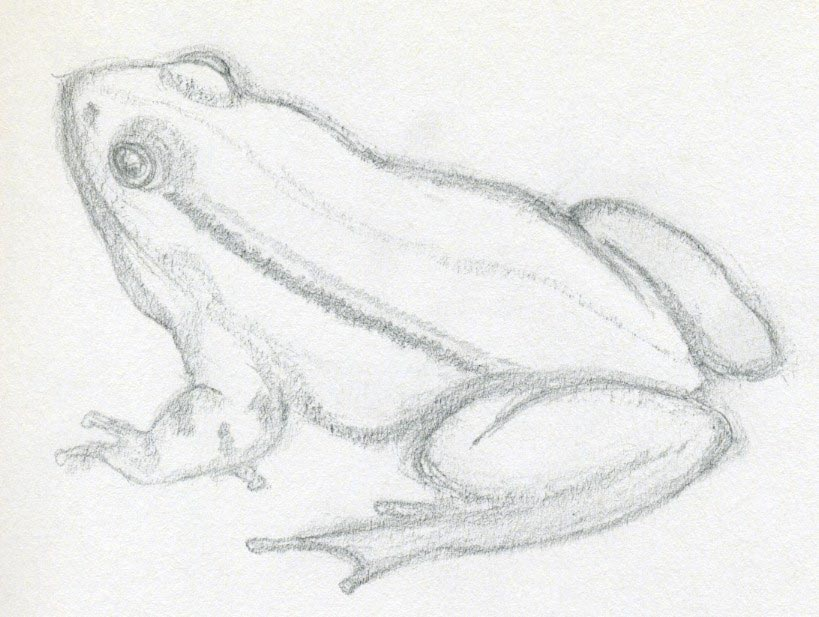 Realistic Tree Frog Drawings Animal frogs   197 x 255 7 4Kb
