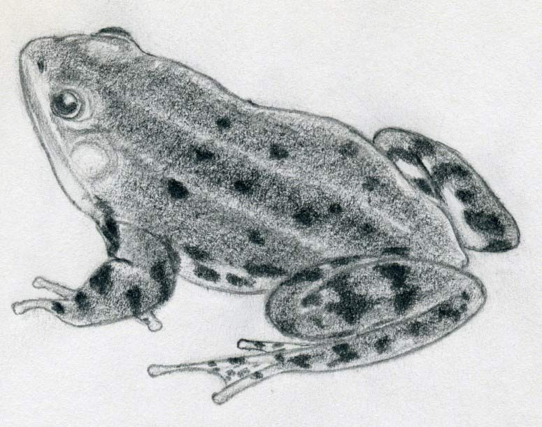 Simple Way How To Draw A Frog