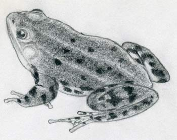 How To Draw A Frog Quickly How to draw a frog with simple colored pencils | podrobnee. how to draw a frog quickly
