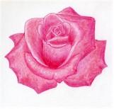 Pink Rose Head Drawing