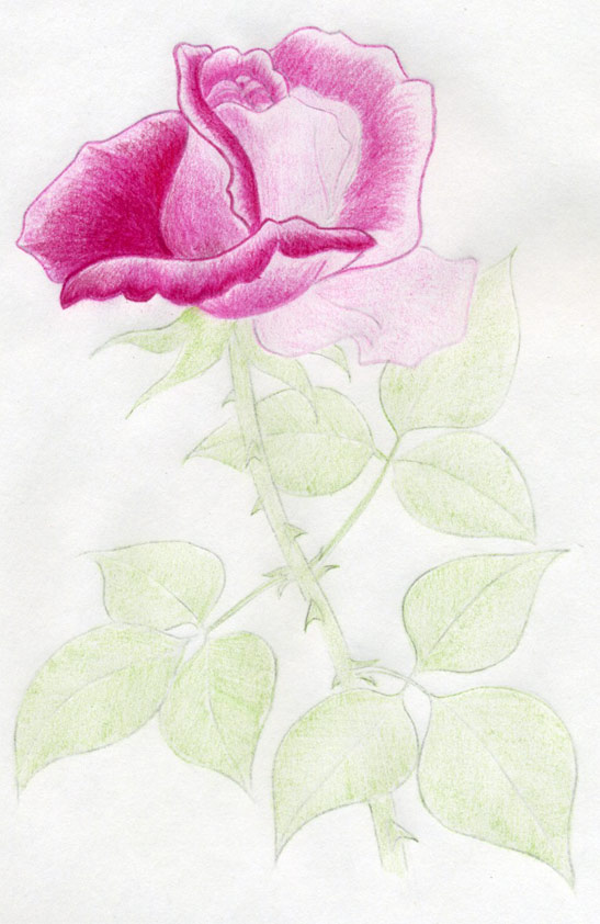 How To Draw A Rose In Few Simple Steps