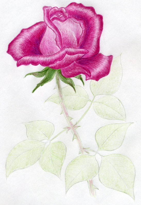 how to draw a rose with thorns