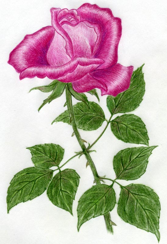... do you love drawing roses click here to share your own rose drawings