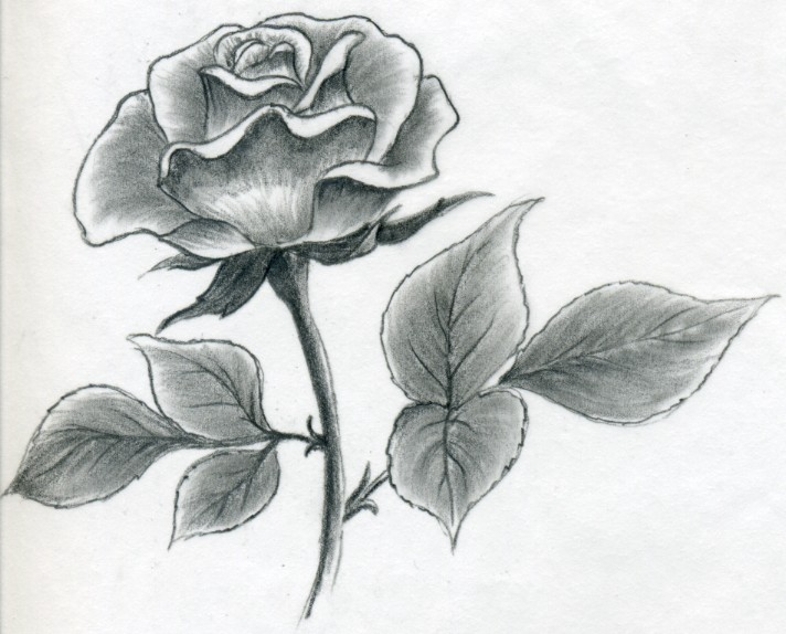 Gallery For gt Drawing Roses