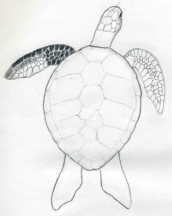 Line Drawing Turtle : How to draw a turtle