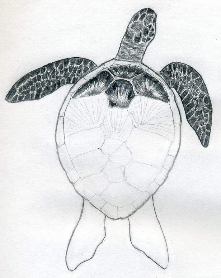 easy draw turtle - photo #20
