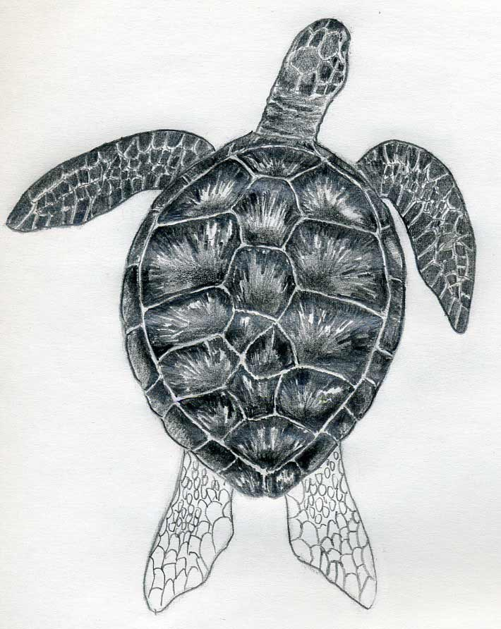 Sea Turtle Sketches http://www.easy-drawings-and-sketches.com/how-to-draw-a-turtle.html