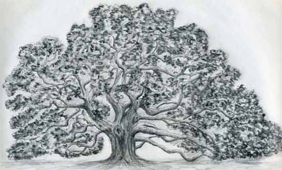 Draw an oak tree angel oak tree for Beautiful drawings of trees