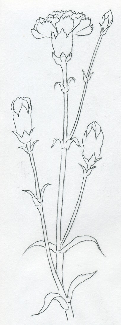 Carnation Flower Line Drawing : How to draw carnation