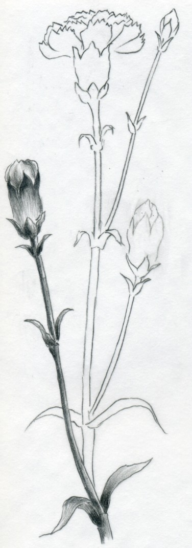 Carnation flowers drawing life style by for Simple carnation drawing