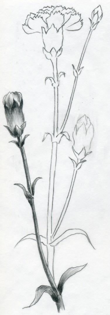 How to draw carnation mightylinksfo