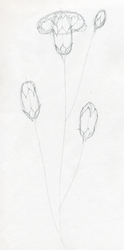 how to draw a carnation flower