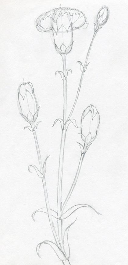 Carnation Drawing
