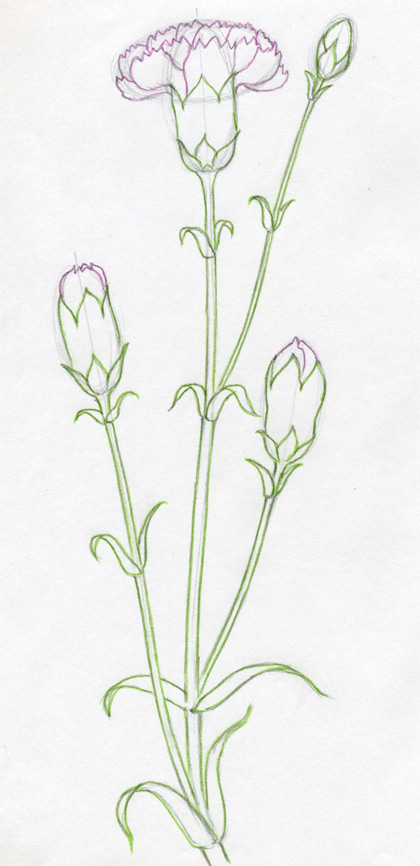 How To Draw Carnation  How To Draw Car...