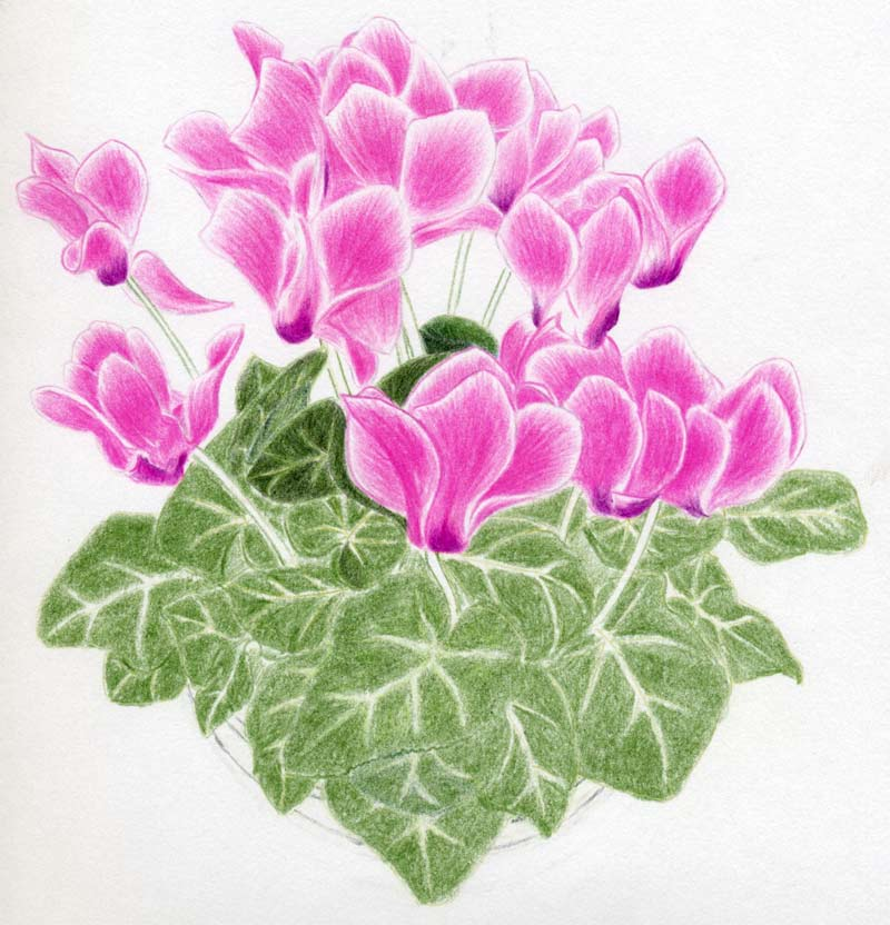 How to draw cyclamen