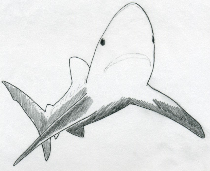 shark outline image