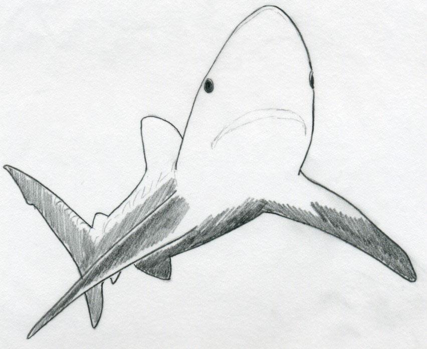 draw shark basic tutorial