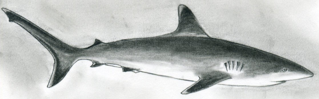 Shark drawings in pencil images amp pictures becuo