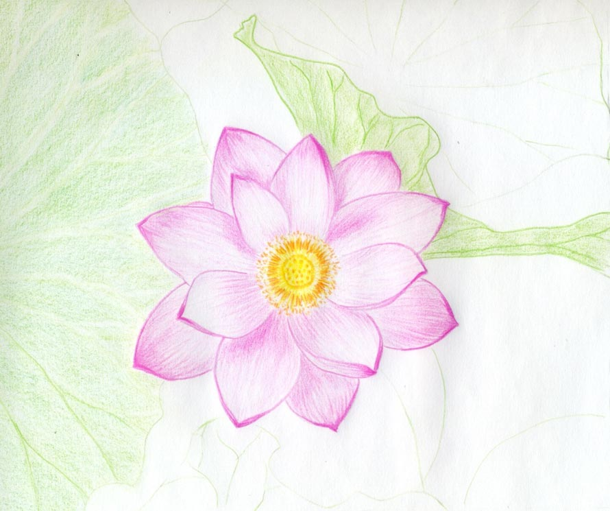 Pink Lotus Drawing They Are Pink But Some Areas
